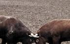 """Algún día veremos toros navarros en San Fermín"""