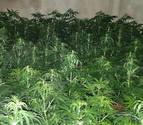 Localizan una finca con más de 18.000 plantas de marihuana