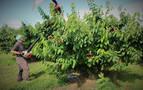 Milagro fomenta la venta de sus cerezas