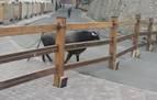 El toro que no quiso correr protagoniza el primer encierro en el recuerdo de TVE