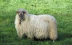 Alertan de la difícil situación del sector ovino latxo