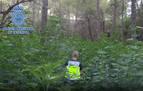 Desmantelada, en menos de un año, la cuarta plantación de marihuana oculta en bosques de Huesca