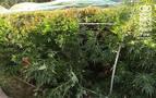 Detenido en Marcilla por un delito de cultivo de marihuana