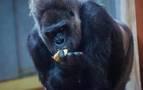 Un gorila de 200 kilos hiere en su jaula a una cuidadora del Zoo de Madrid