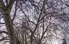 El estudio de árboles emblemáticos de Estella recomienda que se talen 17