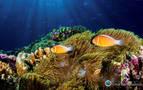 El Pacífico cuenta con medio billón de corales, más de los previstos