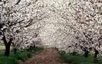 La floración despierta el alma cerecera del Jerte