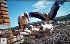 Cigüeñas de Tudela..., en directo por YouTube