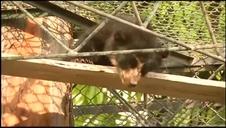 Rescate de un oso moribundo en Perú