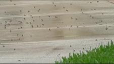 Los sapos invaden la ciudad de Palm Beach en Florida