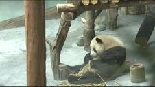 El zoológico chino de Qinghai-Tíbet acoge a cuatro nuevos pandas gigantes