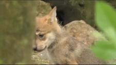 Cachorros de lobo en un zoo de México
