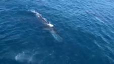 Avistan a cuatro ballenas rorcuales frente a la costa de Jávea