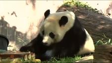 El panda más longevo del planeta cumple 37 años