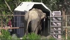 La elefanta Ramba descansará en un santuario brasileño tras años de maltrato