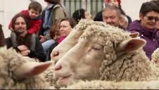 Madrid se llena de ovejas para celebrar la fiesta de la Trashumancia