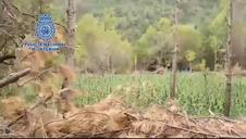 Desmantelada una organización criminal que cultivaba marihuana entre pinares de Aragón