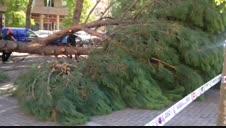 Caída de un pino en Paseo de Nájera