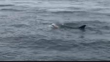 El desesperado intento de una madre por salvar a su cría de delfín en Galicia