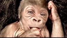 Vídeo: Nace una nueva cría de gorila en el zoo de Boston
