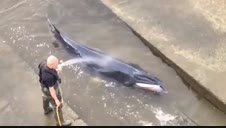 Rescatan a una ballena varada en el río Támesis