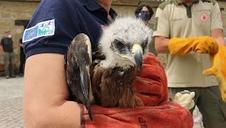 Vídeo: Liberados tres ejemplares de águila de Bonelli en Navarra