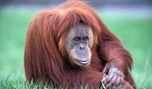 Un orangután, con pies flexibles no tan diferentes e los humanos.