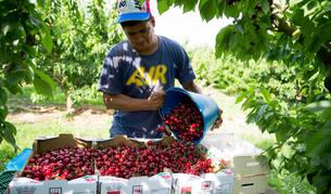 Un trabajador recoge cerezas de un campo de Óscar Lorente Pérez.