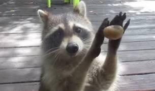 Rocksy, el mapache más educado de la red