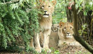 Imagen tomada el pasado día 20 de los dos leones que se escaparon