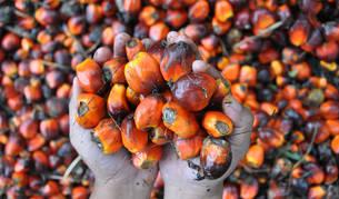Fruto de la palma del que se obtiene el aceite.