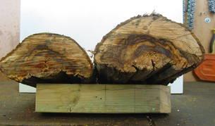 Un ejemplo de uno de los troncos afectados por hongos.