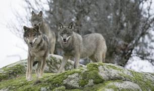 Manada de lobos ibéricos