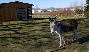 Foto de la burra, que está preñada, en el cercado que se le preparó en el parque de los Sentidos de Noáin.
