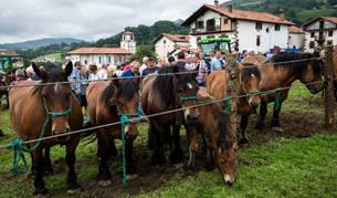 Imagen de varios ejemplares de caballos de la raza 'burguete', este martes en una de las campas de Amaiur.