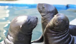 Nacen tres leones marinos en el Oceanogràfic de Valencia
