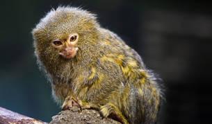 Imagen de un Titi Pigmeo, especie a la que pertenece uno de los monos abandonados.