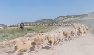 El pastor Ángel María Sanz Moso camina junto a su rebaño de ovejas para continuar con la trashumancia hacia los valles pirenaicos.