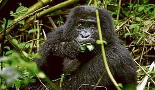 Un gorila en el Parque Nacional de Virunga