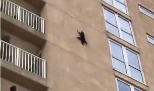 Los mapaches, como los gatos