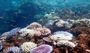 """Los corales """"robustos"""" resisten mejor el cambio climático"""