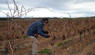 Un agricultor podando viñas,  ayer,  en el término de Usón de Andosilla.