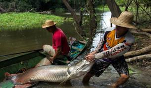 Dos pirarucus capturados en la Amazonia.