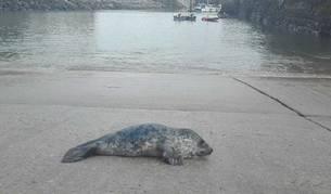 Imagen de la foca hallada descansando en el puerto guipuzcoano de Mutriku.