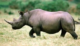 Foto de un rinoceronte.
