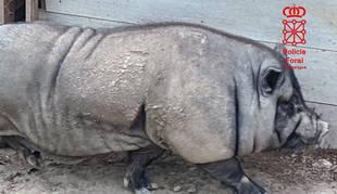 Ejemplar de cerdo vietnamita incautado por la Policía Foral en Andosilla.