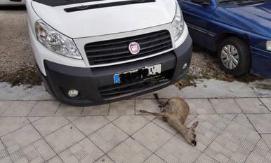 La Policía investiga el atropello a un corzo aparecido muerto en una acera