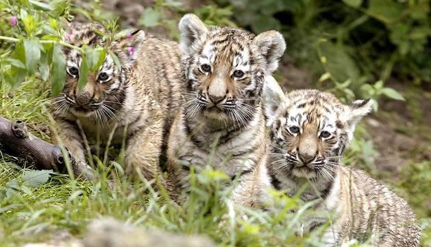 La tigresa siberiana Elena ha presentado a sus tres cachorros en el zoo de Zúrich.
