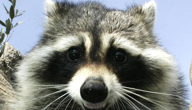 El mapache, animal originario de Norteamérica, se ha convertido en una plaga que amenaza la fauna germana