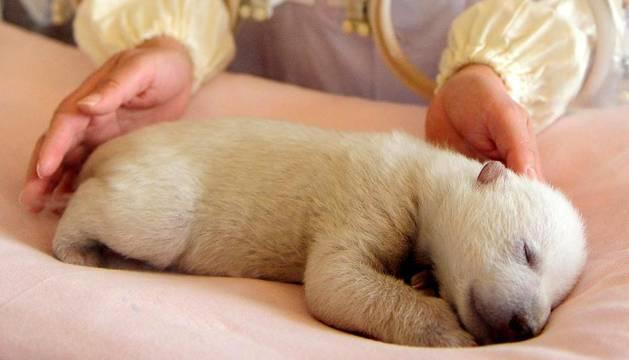 Un cuidador de zoo le atiende a un oso panda recién nacido que reposa en una incubadora del Acuario Oceanico de Penglai, al este de China. La cría fue parida por una osa polar de cinco años el 1 de enero, cuando pesaba 640 gramos  y es la primera cría de esa especie que nace en el acuario. AFP